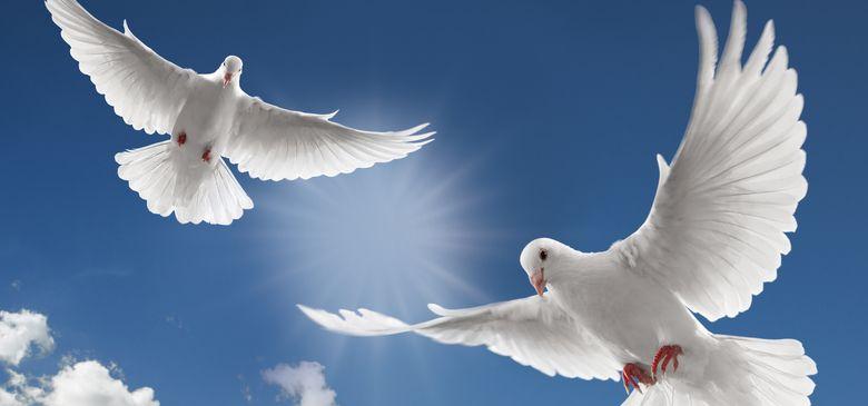 Пара голубей - белые голуби на свадьбу